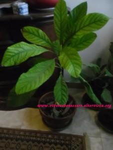 Ottenere una pianta dal seme di avocado
