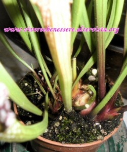 pianta carnivora sarracenia