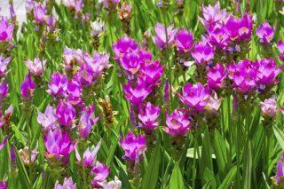 http://concimi.fiorinet.it/coltivare-la-curcuma/